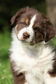 Portrait of amazing australian shepherd puppy — Stock Photo