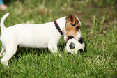 Active puppy of jack russell terrier playing — Stockfoto