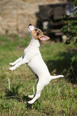 Crazy puppy of jack russell terrier jumping — Stock Photo