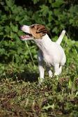 Increible gato cachorro terrier russell en el jardín — Foto de Stock