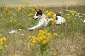 Erstaunlich, jack russell terrier laufen und springen — Stockfoto
