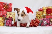 Christmas Jack Russell terrier with gifts — Stock Photo