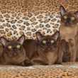 Beautiful Burmese cats in front of nice blanket — Stock Photo #55985465