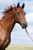 Mooi Boedjonny-paard staande op weide — Stockfoto