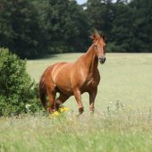 Amazing Budyonny horse running on meadow — Stock fotografie