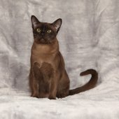 Beautiful Burmese cat in front of silver blanket — Stock Photo