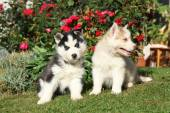 Two gorgeous puppies sitting in front of red roses — Foto de Stock