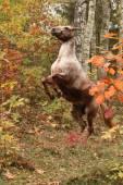 Nice appaloosa mare rear up in autumn forest — Zdjęcie stockowe