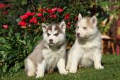 Two gorgeous puppies sitting in front of red roses — Foto Stock