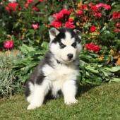 Nice siberian husky puppy in the garden — Fotografia Stock
