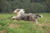 Bearded collie running in nature — Stock Photo