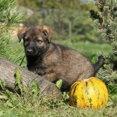 Amazing puppy of German shepherd with pumpkin — Zdjęcie stockowe