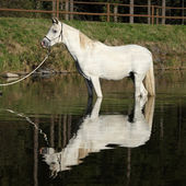 Amazing arabian horse in water — Foto de Stock