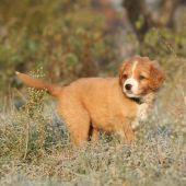 Amazing puppy of nova scotia in soft rime — Stock Photo