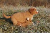 Amazing puppies of nova scotia in soft rime — Stock Photo