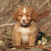 Gorgeous puppy of nova scotia sitting in nature — Stock fotografie