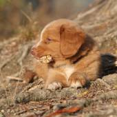 Gorgeous puppy of nova scotia lying on roots — Stock fotografie