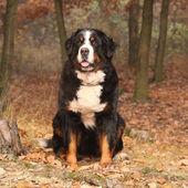 Beautiful bernese mountain dog sitting in autumn forest — Stockfoto