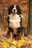 Beautiful bernese mountain dog sitting in autumn forest — Stock Photo