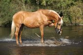 Nice palomino warmblood playing in the water — Stock Photo