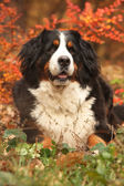 Amazing bernese mountain dog lying in autumn forest — Stock Photo