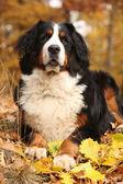 Amazing bernese mountain dog lying in autumn forest — Stock Photo