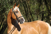 Beautiful amazing palomino warmblood with blond hair — Stock fotografie