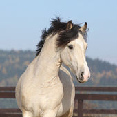 Gorgeous welsh cob running in autumn — Stock Photo