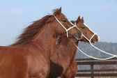Two chestnut mares with halters — Stock Photo