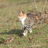 Amazing tricolour cat moving in the garden — Stock Photo