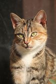 Amazing tricolour cat looking at you — Stock Photo