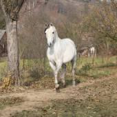 White arabian stallion running — Stock Photo