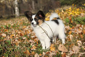 Adorable papillon puppy playing with a stick — Stock fotografie