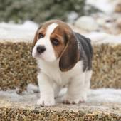 Chiot beagle belle en hiver — Photo
