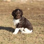 Puppy van kleine Munsterlander — Stockfoto