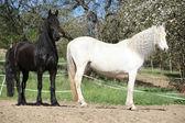 白色的安达卢西亚马与黑花马 — 图库照片
