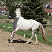 驚くほど白いアンダルシア馬 — ストック写真