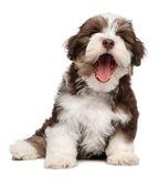 Funny yawning chocholate havanese puppy dog — Stock Photo