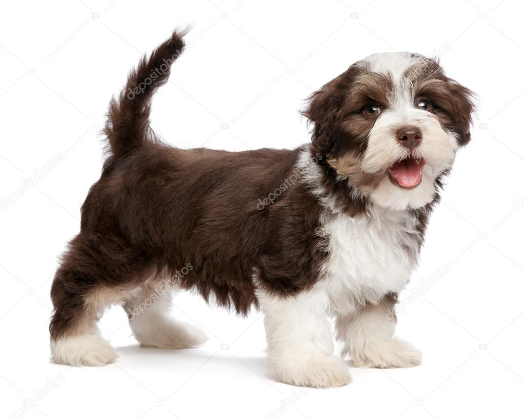 National Dog Show Havanese