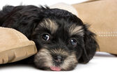 Cute havanese puppy dog is waiting for her owner — Stock Photo