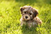 Cute little havanese puppy dog is sitting in the grass — Stock Photo