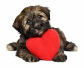 Lover Valentine Havanese puppy dog with a red heart — Stock Photo