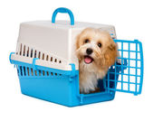 Cute happy havanese puppy dog is looking out from a pet crate — Stock Photo