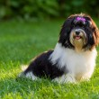Happy black and white havanese puppy dog is sitting in the grass — Stock Photo #69089191