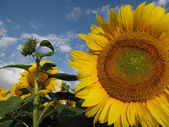 Veld vol met gele zonnebloemen — Stockfoto