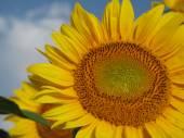 Bright yellow sunflower on field — Stock Photo