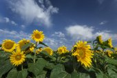 Blooming sunflowers under amazing cloudy blue sky — Stock Photo