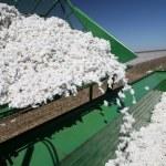 Cotton harvest — Stock Photo #67003433