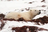Polar Bear Lying Down in Snow — Photo