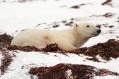 Polar Bear Lying Down in Snow — Stock Photo